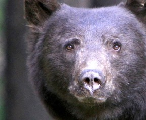 Local Bear Sightings Incline Village General Improvement